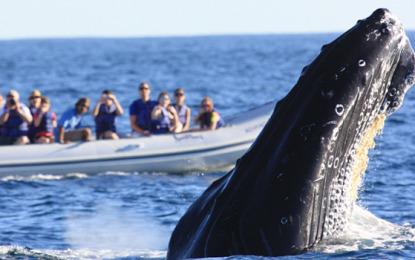Anuncian próxima temporada de ballenas; actividad dejaría 8 mdp en Nayarit