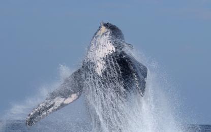 El misterioso canto de la ballena jorobada