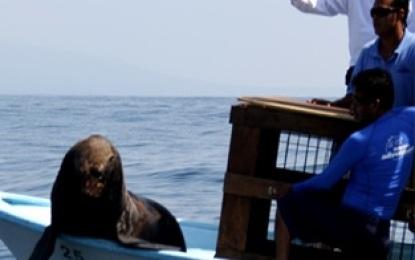 Liberan ejemplar de Lobo Fino de Guadalupe en la Bahía de Banderas