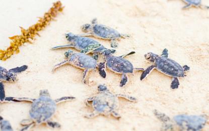 Iberostar logra incrementar 159% la liberación de tortugas en 2014