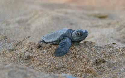 Afecta el calor anidación de tortuga marina en Jalisco: CUCSur