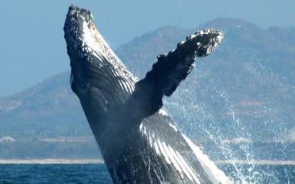 Suspenden lancheros actividad de avistamiento de ballenas en la bahía