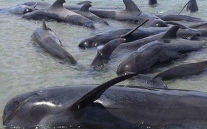 Mueren 24 ballenas en playa de Baja California tras varamiento