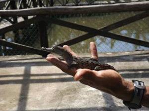 cocodrilario-el-cora