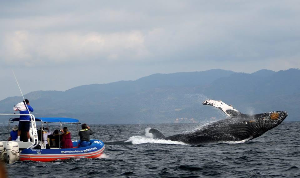 Califican excelente, temporada de avistamiento de ballenas