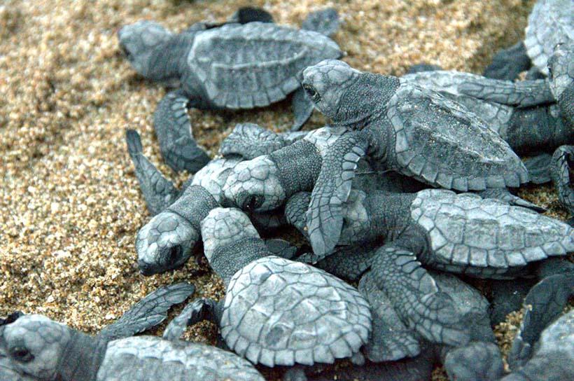 Proteger y liberar tortugas marinas ¡Toda una experiencia en Riviera Nayarit!