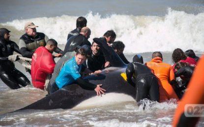 Grupo Dolphin en Argentina atienden un varamiento masivo de orcas